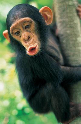Chimpanzé langage