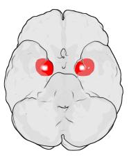 Amygdales vues du dessous (Wikipédia)