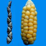 """la téosinte (à gauche), l'ancêtre """"naturel"""" du maïs (à droite)"""