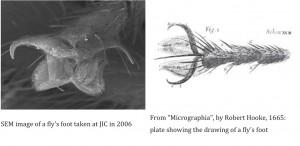 Figure 20 - à gauche image prise pas un EM, à droite la représentation de Hooke d'après ses observations au microscope optique