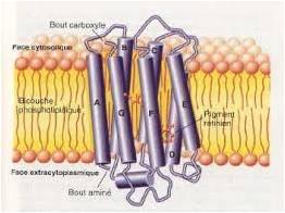 Figure 16 - Bactériorhodopsine (structure)