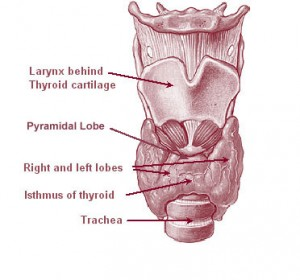 Illu08_thyroid