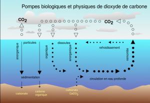 Cycle du carbone dans les océans. Source : Isaac Sanolnacov pour Wikipedia